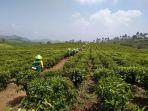 ptpn-viii-menggulirkan-program-truly-premium-walini-tea_20180830_203630.jpg