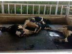 puluhan-sapi-mati-mendadak_20180118_091210.jpg