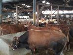 sapi-di-tempat-penjualan-hewan-kurban-doa-ibu-jalan-budi-kota-cimahi_20180814_195428.jpg