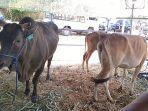 sapi-pasundan-bos-sundaicus-di-acara-expo-peternakan.jpg