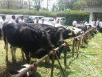 sapi-perah-yang-ada-di-koperasi-peternak-sapi-bandung-utara-kpsbu-lembang_20180322_144843.jpg