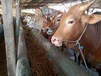 sapi-sapi-di-salah-satu-lapak-penjualan-hewan-kurban-di-indramayu-jumat-282019.jpg