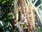 sebuah-pohon-pisang-unik-di-desa-bantarwaru-kecamatan-ligung-kabupaten-majalengka.jpg