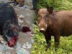 seekor-babi-hutan-saat-diamankan-oleh-warga-kampung-kadalmoyan_20180331_145306.jpg