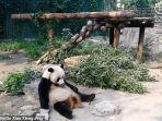seekor-panda-dilempari-batu.jpg