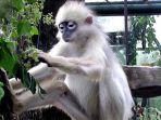 simpai-spesies-primata-yang-merupakan-satwa-endemik-pulau-sumatera.jpg