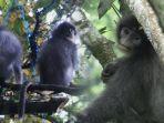 surili-primata-yang-terancam-punah.jpg