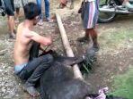 tangkap-babi-bertaring.jpg