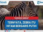 ternyata-zebra-itu-hitam-bergaris-putih.jpg