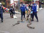 tim-rescue-diskar-pb-kota-bandung-tangani-ular-sanca-kembang.jpg