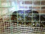 ular-sanca-ular-piton-sanca-kembang_20170708_105117.jpg