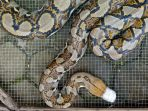 ular-sanca_20180226_151402.jpg