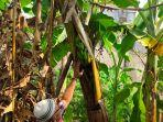 unik-buah-pisang-tubmbuh-di-batang-pohon.jpg