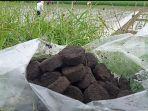 untuk-suburkan-rumpun-padi-dan-tanah-pupuk-organik-sejenis-briket-kompos-jadi-solusi-para-petani.jpg