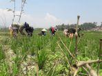 warga-tengah-membersihkan-rumput-di-waduk-saguling-yang-dijadikan-lahan-pertanian.jpg