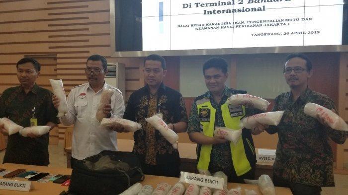 23 Ribu Benih Lobster Senilai Rp 3 Miliar Diselundupkan dalam Ransel Lewat Bandara Soekarno-Hatta