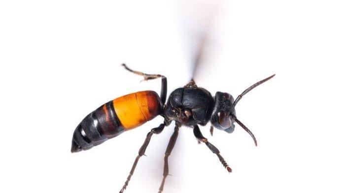 5 Fakta Tawon Vespa affinis yang Tewaskan 7 Warga Klaten, Ternyata Disebut Sebagai Tawon Predator