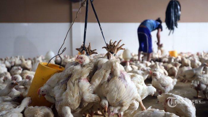 FKPI Tagih Janji Kebijakan Impor Indukan Ayam Berpihak kepada Peternak UMKM