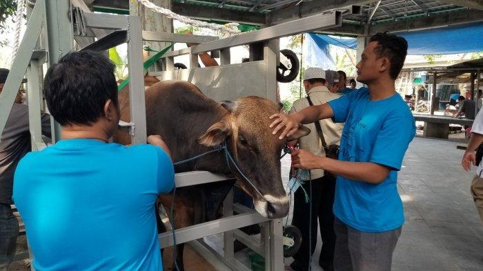 Alat Canggih Peroboh Sapi Kurban di Masjid Raya Al-Azhom Tangerang