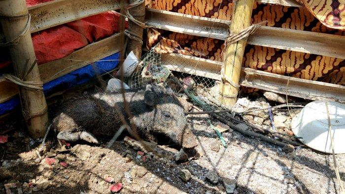 Babi yang diduga jadi-jadian dan diamankan warga di Kelurahan Bedahan, Sawangan, Kota Depok, Selasa (27/4/2021).
