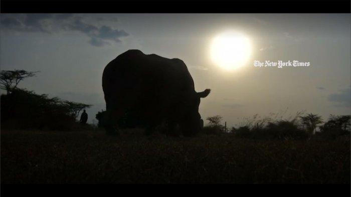 Afrika Alami Kesedihan, Sudan Satu-satunya Badak Putih Utara di Dunia Telah Punah