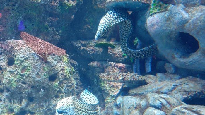 Koleksi Sepasang Belut Moray, Pemandu Jakarta Aquarium: Satwa Penanda Gempa