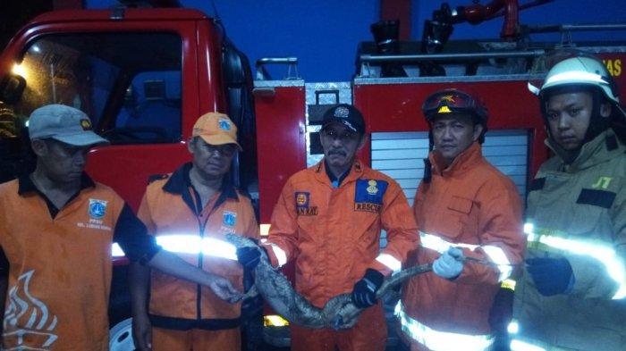 Biawak Sepanjang 100 Cm di Cipayung Ditangkap di Halaman Kelurahan Lubang Buaya Jakarta Timur