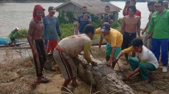 Takut Kembali Makan Korban, Buaya Berukuran 3,5 Meter Ditangkap di Pinggir Sungai Mahakam