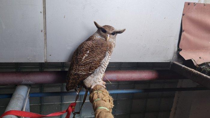 Seekor burung hantu Beluk Jampuk yang dievakuasi petugas damkar saat ini berada di Pos Damkar Lebak Bulus pada Kamis (22/7/2021).