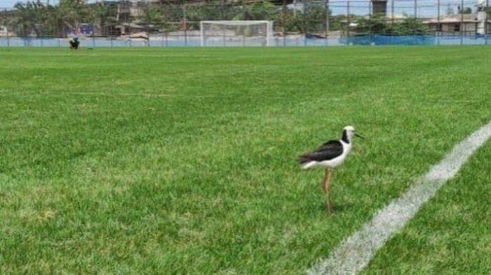 Burung kaki bayam yang dipelihara di area Jakarta International Stadium (JIS), Tanjung Priok, Jakarta Utara. Burung ini dimanfaatkan untuk perawatan rumput hybrid di lapangan latih JIS.