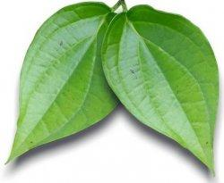 ilustrasi daun sirih