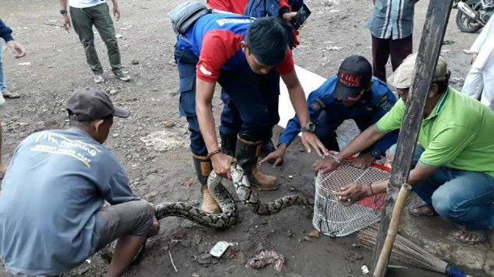 Banyak Evakuasi Ular, Petugas Pemadam Kebakaran Tangsel Bingung Cari Penampungan