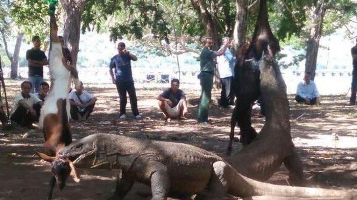 Tangan Bocah 4 Tahun Putus Digigit Komodo, Bermula dari Tali Nilon, Terjatuh dari Rumah