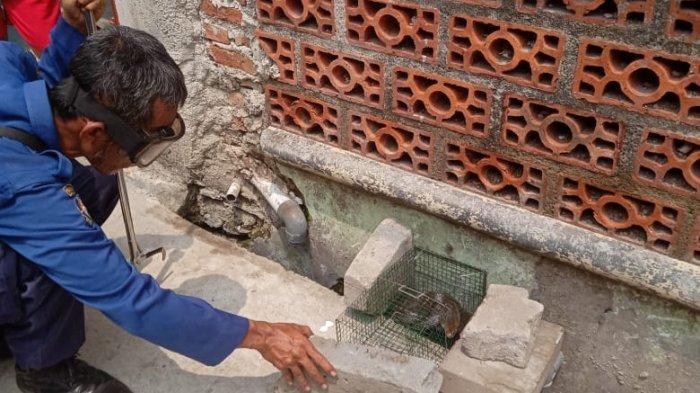 Lagi Bersih-bersih, Warga Bekasi Temukan Ular Kobra Berukuran 1,5 Meter di Rumahnya