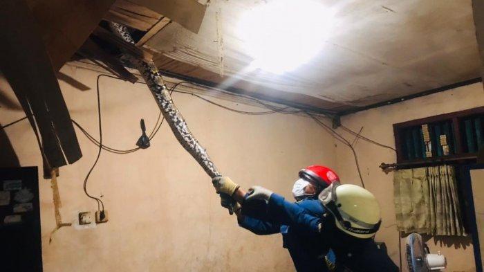 Ular Sanca Sepanjang 6 Meter Bikin Geger Warga Cakung, Sembunyi diPlafon Rumah Warga