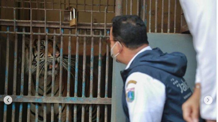 Dikunjungi Anies, Dua Harimau Sumatra di Ragunan Sudah Nafsu Makan