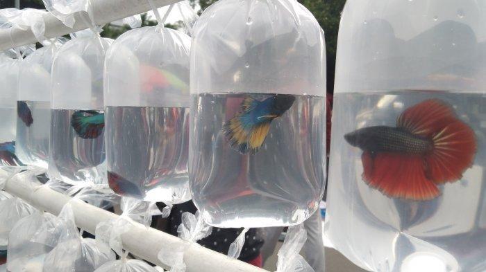 Pedagang Ikan Cupang Laris Manis Diserbu Pembeli Di Car Free Day Jalan Sudirman Halaman All Tribun Jakarta