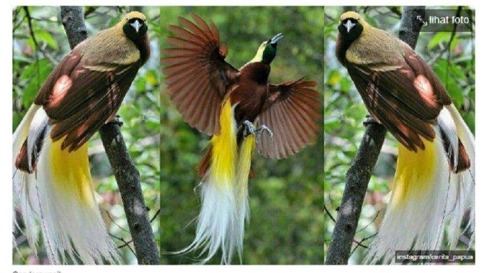 Mengenal Mahkota Burung Cenderawasih, Benarkah Bakal Jadi Suvenir di PON Papua 2021?