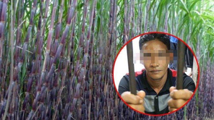 Ilustrasi kebun tebu. (Inset) ZA (32) warga Kecamatan Tanah Luas, Aceh Utara, pelaku rudapaksa gadis lugu berinisial SR (19) asal Kecamatan Langkahan, diciduk personel Polres Aceh Utara, Minggu (30/5/2021).