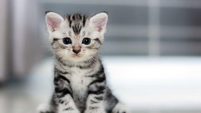 Alasan Dibalik Kebiasaan Kucing Sering Menjilati Tubuhnya Bisa Hilangkan Kutu Tribun Jakarta