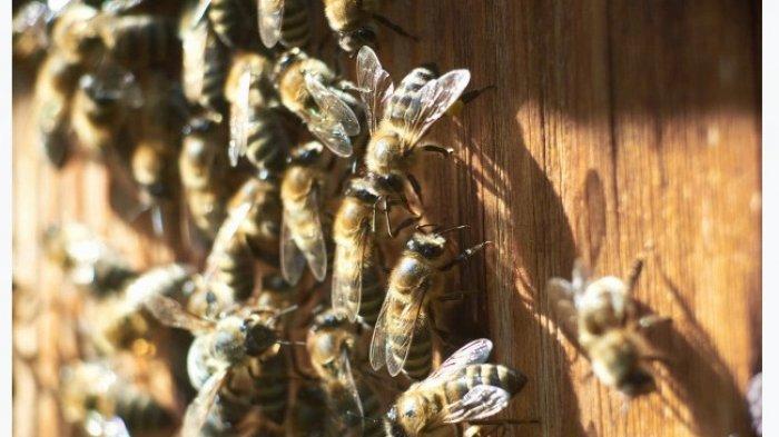 Cara Alami Mengatasi Sengatan Lebah, Coba 6 Obat Tradisional Ala Dapur Ini