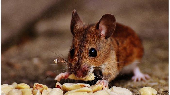 Hati-hati! 6 Hal Ini Bisa Mengundang Tikus Masuk Rumah, Simak Cara Mengusirnya