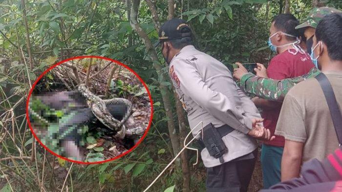 Dikira Dibawa Makhluk Halus, Orang Rimba Ditemukan Sudah Menghitam Terlilit Ular Sanca 3 Meter