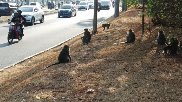 Tak Punya Alat, Dinas Damkar Tangsel Minta Puspiptek Surati BKSDA Tangkap Monyet Liar