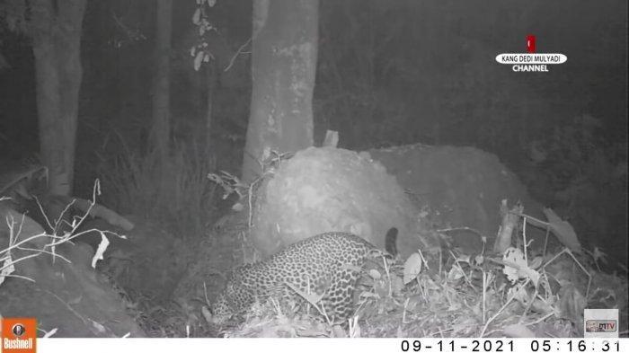 Selain Macan Tutul, Sejumlah Satwa Endemik Ditemukan di Gunung Sanggabuana: Jadi Taman Nasional?
