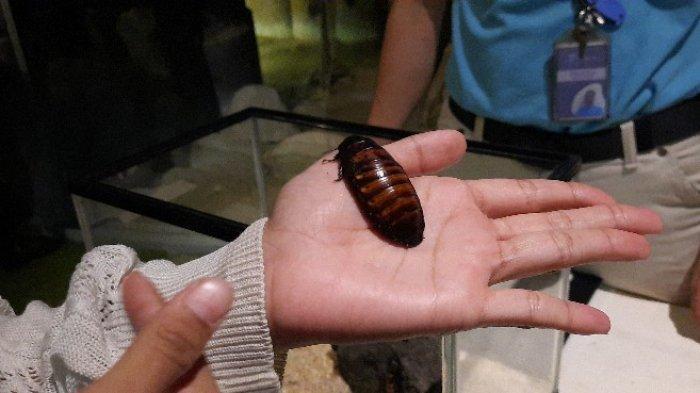Mirip Kumbang, Penampakan Kecoa Madagaskar Koleksi Jakarta Aquarium