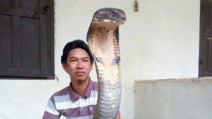 Ini Foto-foto King Cobra Raksasa Asal Kalimantan yang Jadi Viral Medsos