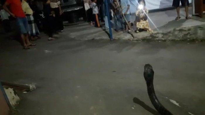 Jelang Berbuka Puasa King Kobra Berukuran Jumbo Berkeliaran di Jalan dan Masuk ke Garasi Rumah Warga
