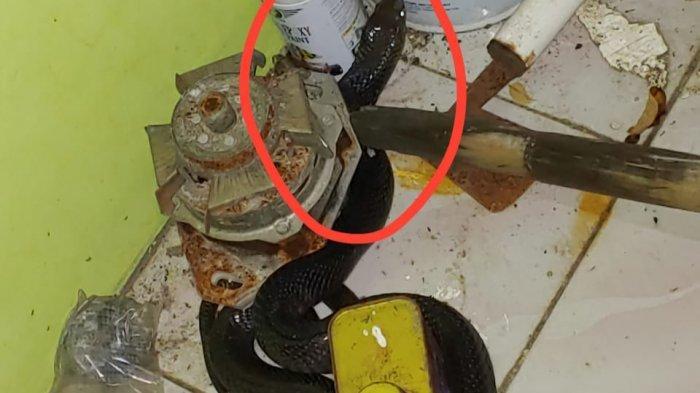 Petugas Pemadam Kebakaran Tangkap Kobra 1 Meter di Teras Rumah Warga Bambu Apus