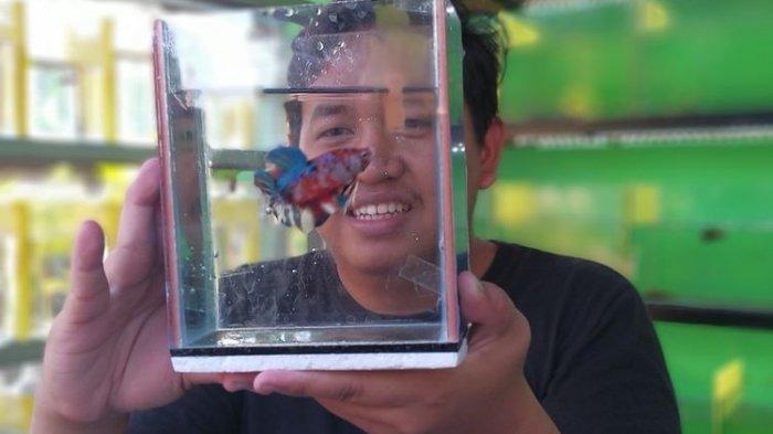 Masa Pandemi, Pemuda Ini Raup Cuan Besar Berkat Ikan Cupang: Tuai Omzet Rp 1,5 Juta Per Hari